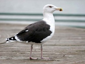 The great black-backed gull native to southern Alaska produces more methane in one year than an infant pig.